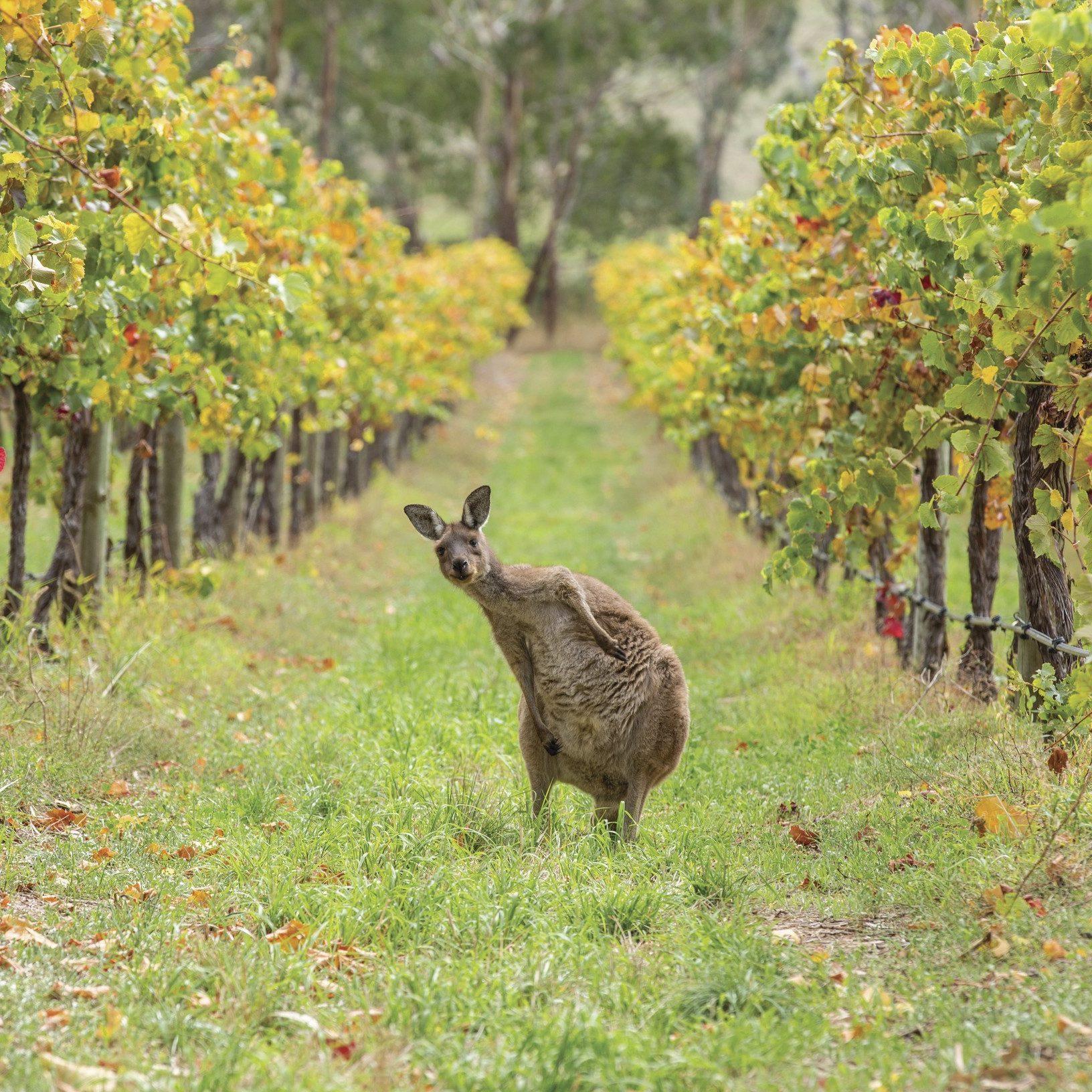 Kangaroo amongst the vines on the Escapegoat Adventures Bike Wine Tour